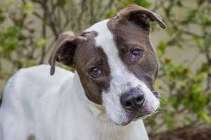 Lucky (A0248807) – 2 year old 60 lb. male mixed breedLearn all about me by clicking on my link! If you are interested in adopting me, please come visit me at Peggy Adams Animal Rescue League or call their Adoption Department at 561-686-6656. View my other doggy friends available for adoption at HERE.
