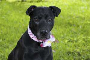 Alli (A0279315) –7 year old 57 lb. female mixed breedLearn all about me by clicking on my link! If you are interested in adopting me, please come visit me at Peggy Adams Animal Rescue League or call their Adoption Department at 561-686-6656. View my other doggy friends available for adoption at HERE.