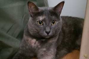 Ellie (A0289377) – 1 year old female Domestic ShorthairLearn all about me by clicking on my link! If you are interested in adopting me, please come visit me at Peggy Adams Animal Rescue League or call their Adoption Department at 561-686-6656. View my other kitty friends available for adoption at HERE.