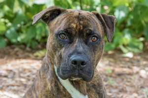 Sam (A0292599) –3 year old 60 lb. male mixed breedLearn all about me by clicking on my link! If you are interested in adopting me, please come visit me at Peggy Adams Animal Rescue League or call their Adoption Department at 561-686-6656. View my other doggy friends available for adoption at HERE.