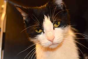 Marlena (A0288841) – 3 year old female Domestic ShorthairLearn all about me by clicking on my link! If you are interested in adopting me, please come visit me at Peggy Adams Animal Rescue League or call their Adoption Department at 561-686-6656. View my other kitty friends available for adoption at HERE.