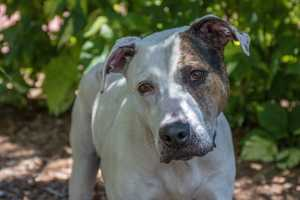 Mickey (A0291929) – 4 year old 69 lb. male mixed breedLearn all about me by clicking on my link! If you are interested in adopting me, please come visit me at Peggy Adams Animal Rescue League or call their Adoption Department at 561-686-6656. View my other doggy friends available for adoption HERE.