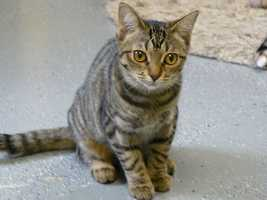 Carla (A0269806) – 1 year old female Domestic ShorthairLearn all about me by clicking on my link! If you are interested in adopting me, please come visit me at Peggy Adams Animal Rescue League or call their Adoption Department at 561-686-6656. View my other kitty friends available for adoption at HERE.