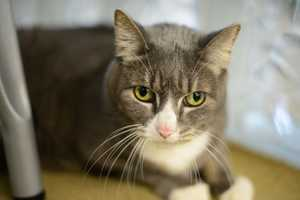 Susie (A0295796) – 12 year old female Domestic ShorthairLearn all about me by clicking on my link! If you are interested in adopting me, please come visit me at Peggy Adams Animal Rescue League or call their Adoption Department at 561-686-6656. View my other kitty friends available for adoption at HERE.