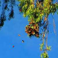 Monarch Butterflies flutter around Natural Bridges in Santa Cruz.