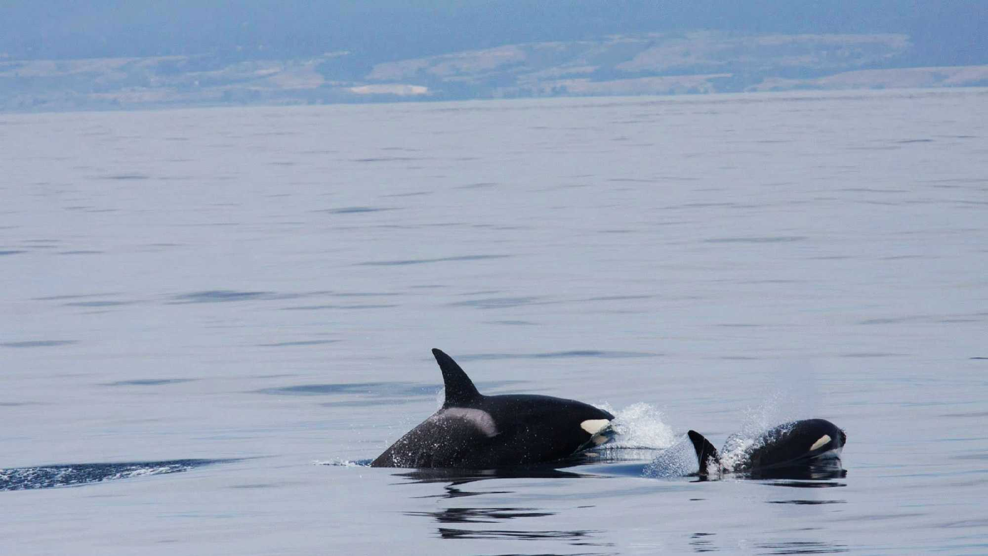 Life for orca whales outside of SeaWorld, like these two swimming through the Monterey Bay, is far different.