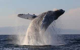 A humpback whale breaches in the Monterey Bay.