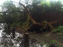 A tree fell in the Pajaro Dunes neighborhood. (Jan. 19, 2016)