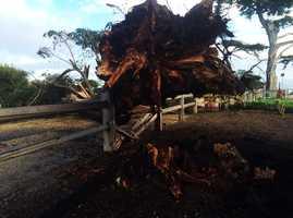 A tree fell across East Cliff Drive in Santa Cruz. (Jan. 19, 2016)
