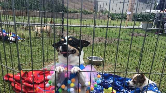 Chihuahua Pride Day highlights overpopulation of small dogs