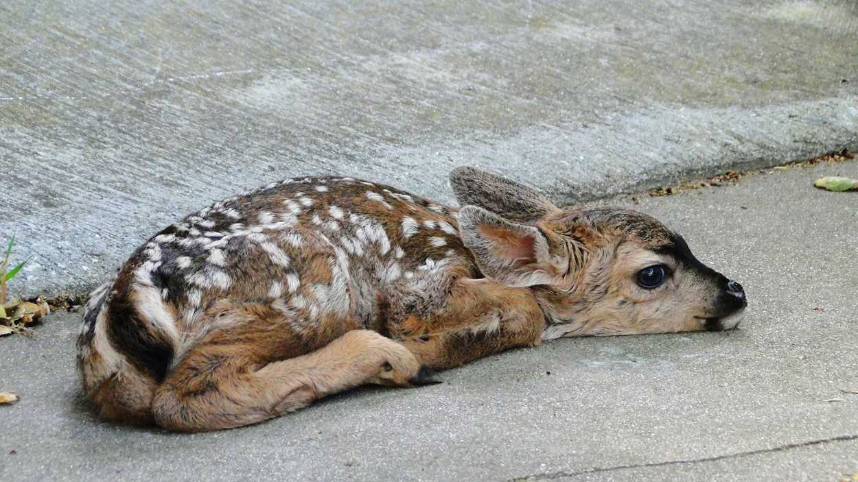 A fawn rests in Pacific Grove.