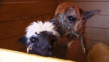 Alpacas rescued from the Loma Fire