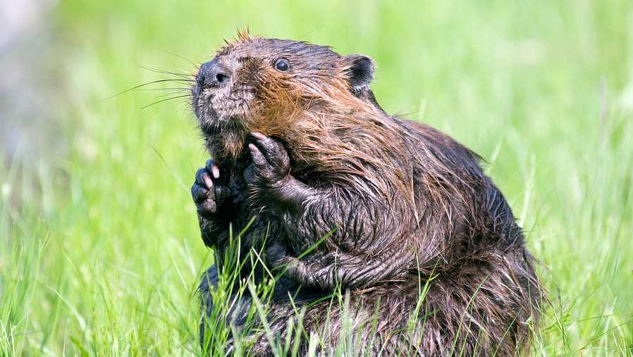 Stock image of a beaver