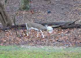 deer's head stuck in bucket
