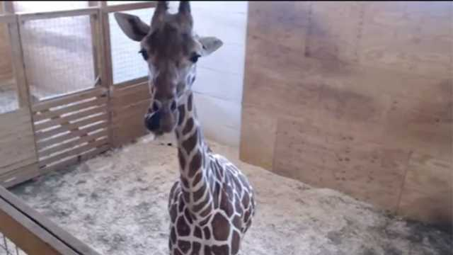 Chat Room For April The Giraffe
