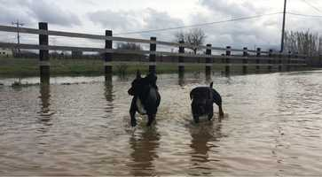 Two dogs make their way home through Hollister flood waters.
