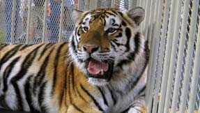 LSU tiger mascot Mike VI