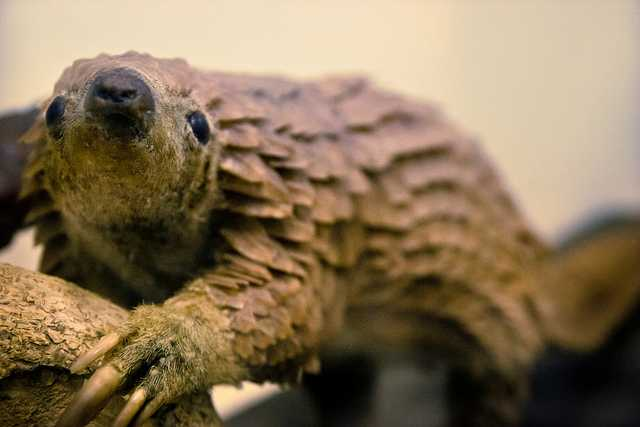 What's A Pangolin? Just An Adorable Creature Google Is Trying To Save
