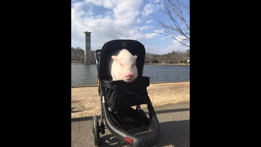 Pickle the Pig
