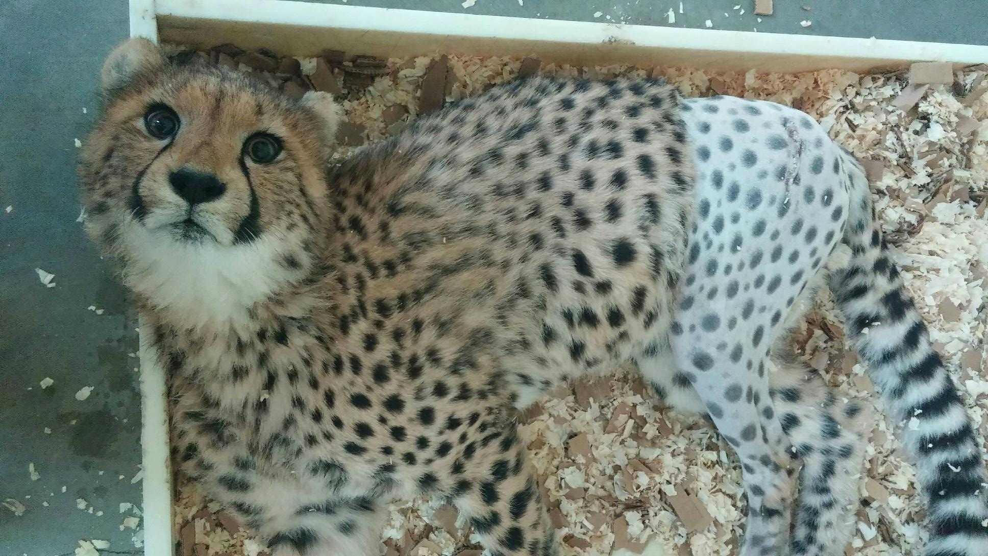 Redd, the Cincinnati Zoo's cheetah cub, was shaved for hip surgery recently.