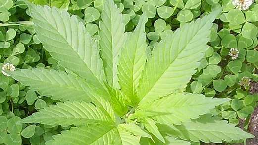 00-3 marijuana.jpg