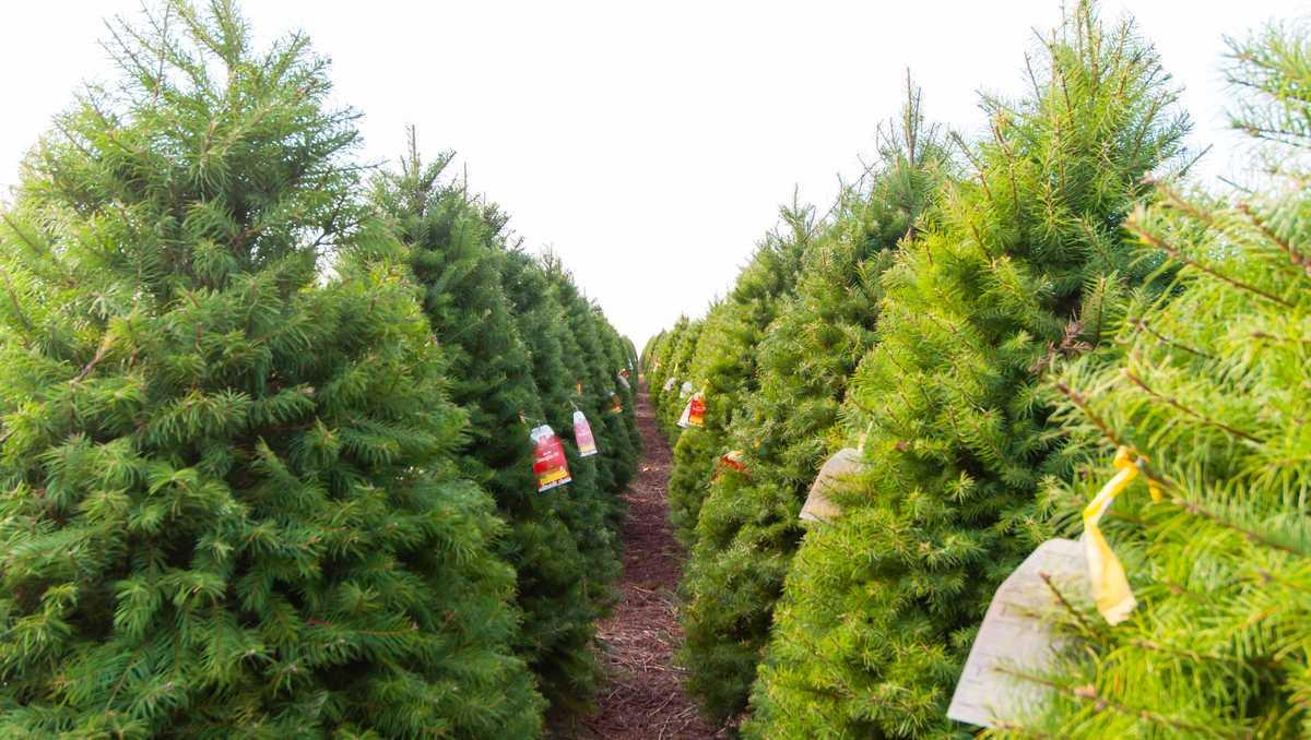 Real Christmas Trees At Home Depot