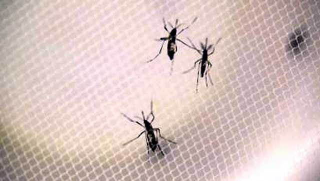 Mosquitoes can transit Zika virus