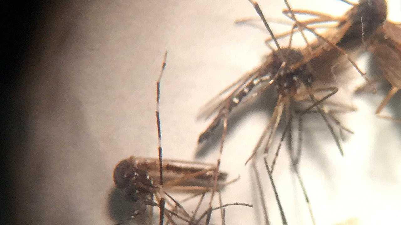 Brazil Zika mosquitoes