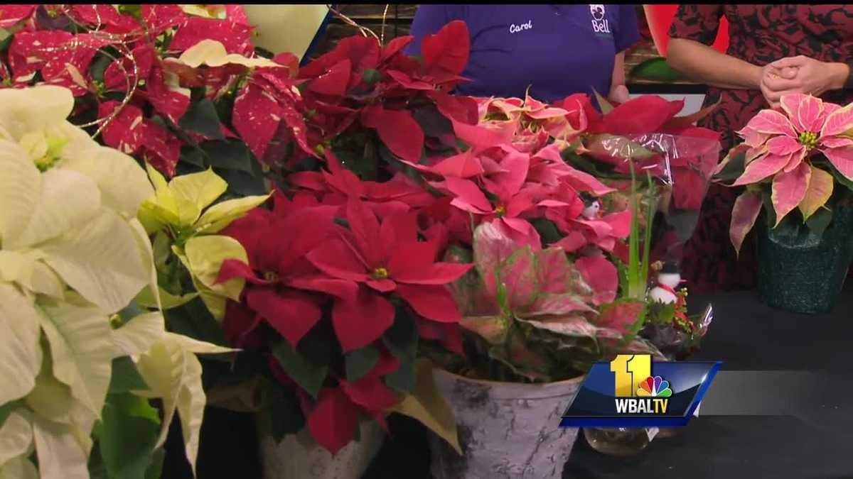 video how do you take care of poinsettia plants