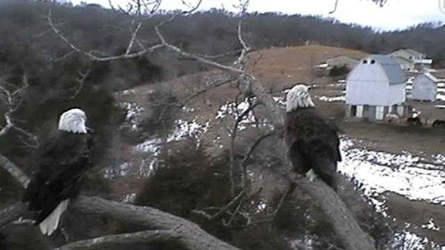 Eagle near nest on Decorah Eagle Cam.