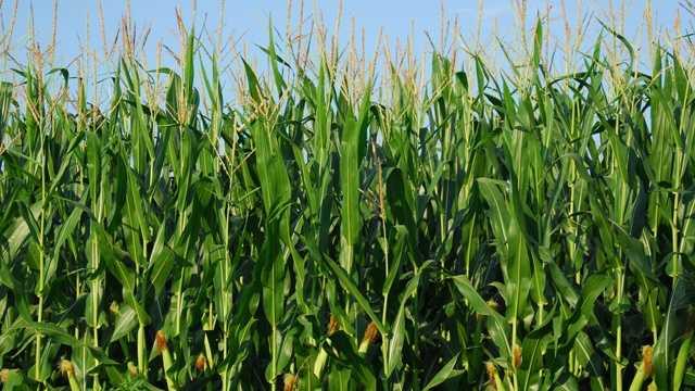 cornfield generic