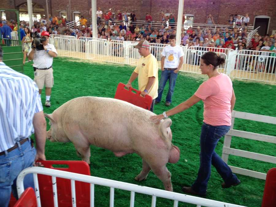 """Elvis"" weighed in at 950 pounds."