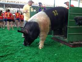 """Fred Hoiboar"" tips the scales at 1,079 pounds."