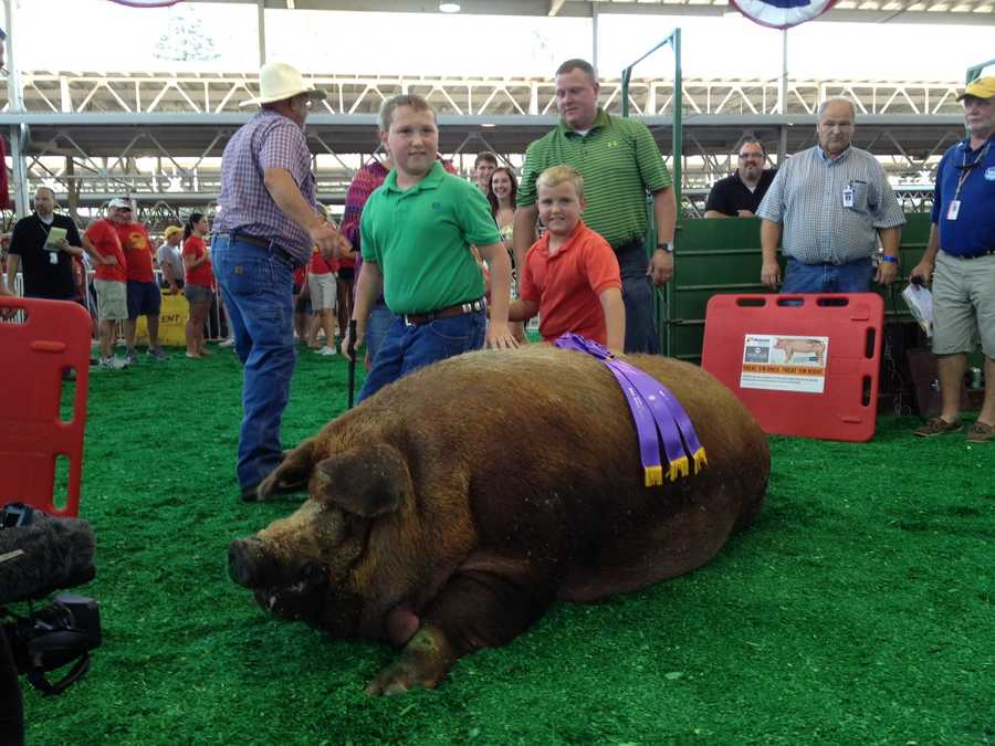 """Reggie"" sets a new State Fair record at 1,335 pounds.  He shatters the old record of 1,259 pounds."