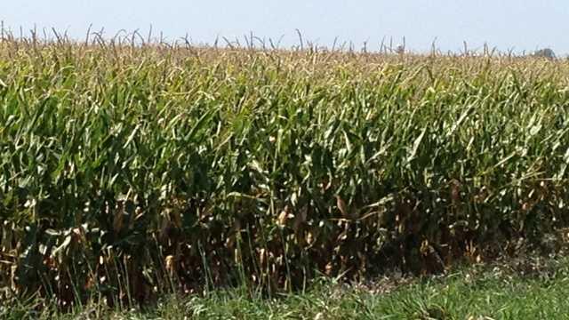 Iowa farm field green corn harvest