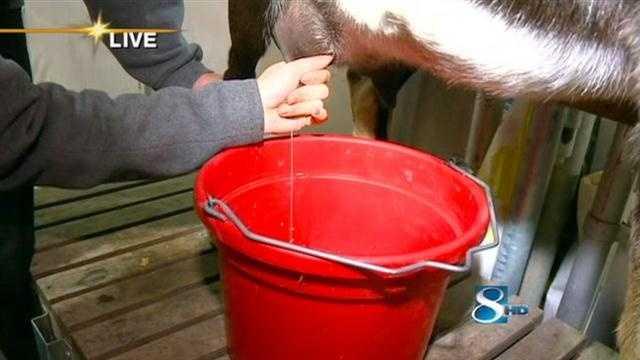 KCCI's Kim St. Onge milks a goat as part of the