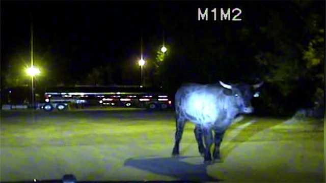 Bull police video