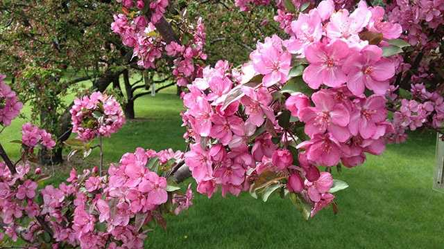 About 1,200 crabapple trees blooming in Des Moines' Water Works Park.