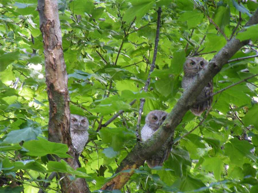 """""""A neighbor of ours in Gilman has a big tree in his front yard and 5 little owls and a squirrel live in it."""""""