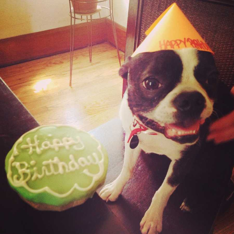 """""""Bruce's first Birthday cake! Bruce the Boston terrier's first birthday cake and Birthday party in Des Moines."""""""