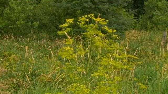 Wild parsnip in Iowa