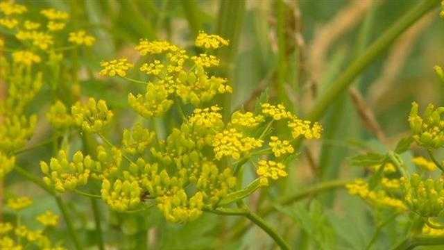 Weed that causes burns is spreading across iowa mightylinksfo