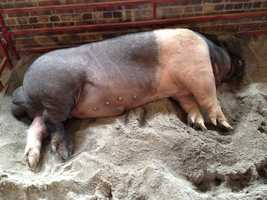 Iowa State Fair's big boar
