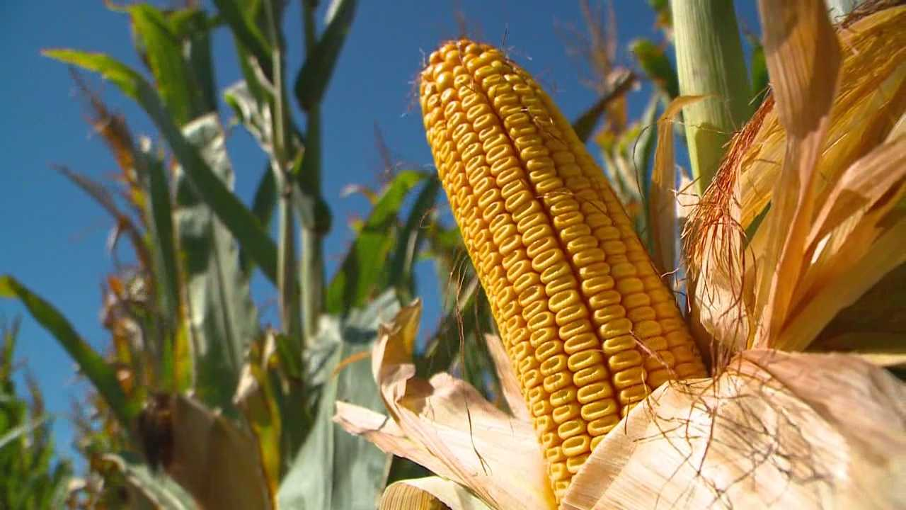 Corn yields are being hurt by recent dry and record heat.