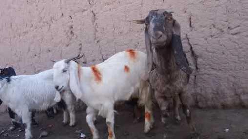 goats generic