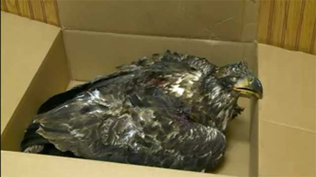 dead eagle in box