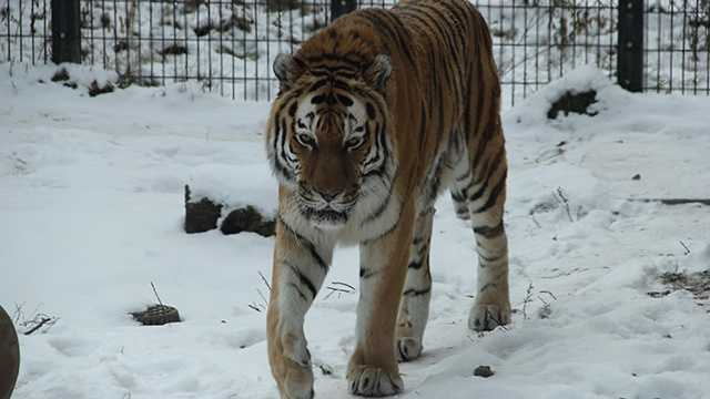 Blank Park Zoo's tiger Kavacha has died.