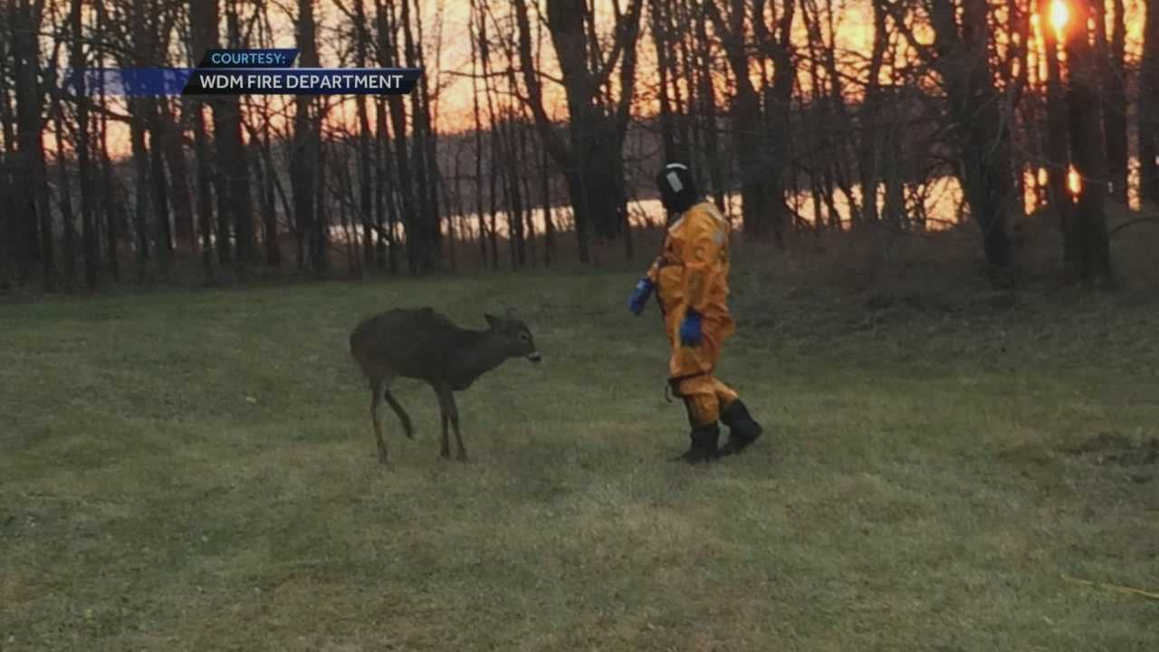 A deer is safe and sound after a water rescue at Raccoon River Park in West Des Moines.