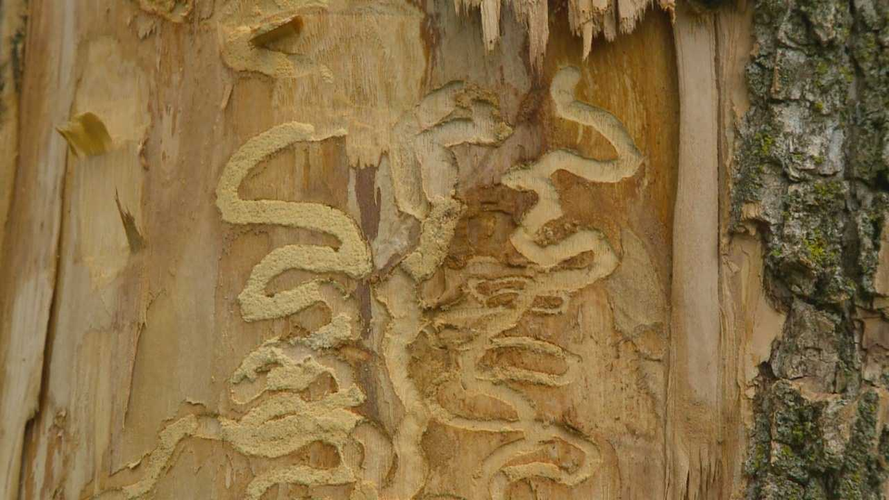 The borer attacks and kills ash trees.