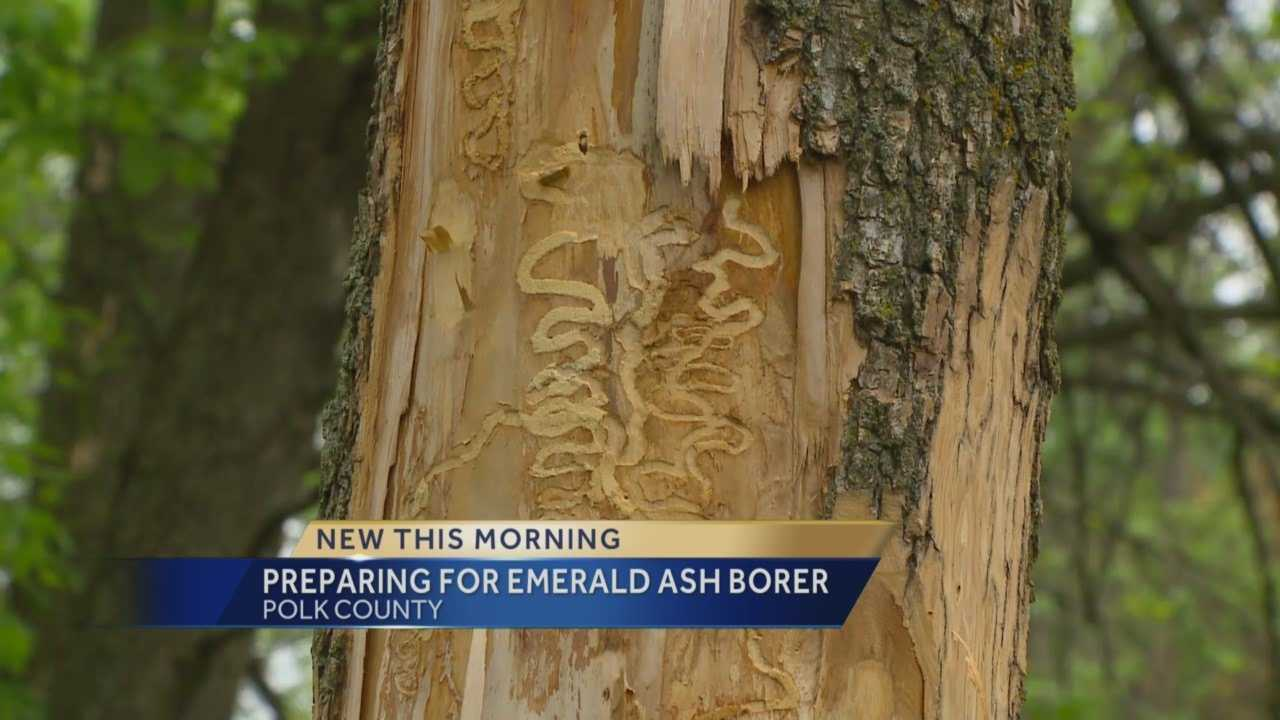 Local authorities have confirmed the Emerald Ash Borer is now in Polk County.
